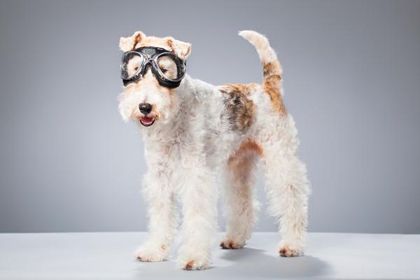 273506-fox-terrier